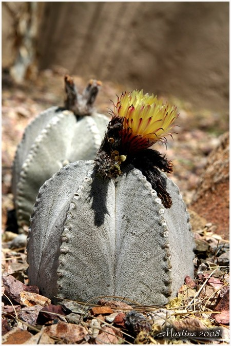 Bishop's Cap Cactus, Bishop's Hat or Bishop's Mite