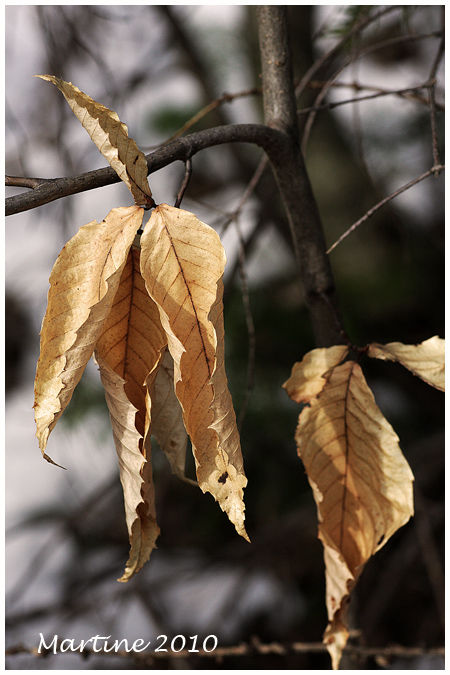 American beech 2