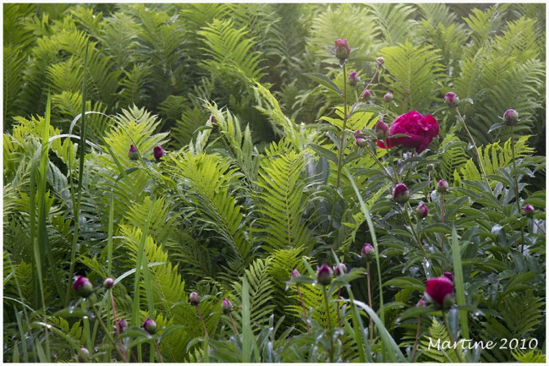Ferns and peonies
