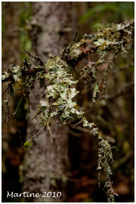 Lichen &eacute;piphyte