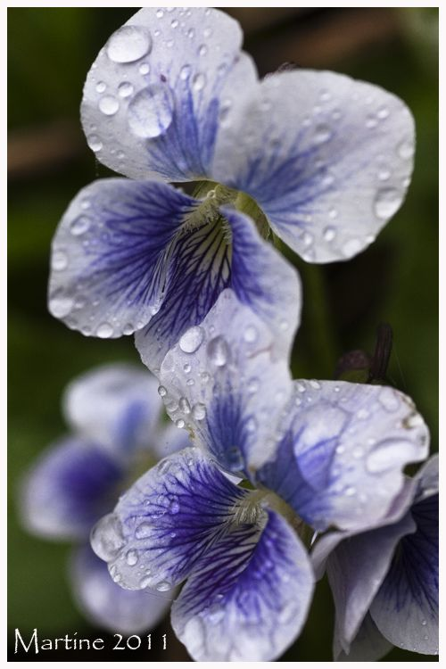 Viola and droplets