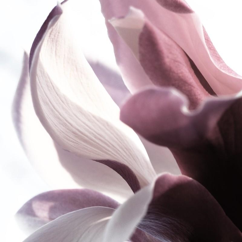 Magnolia blossom,