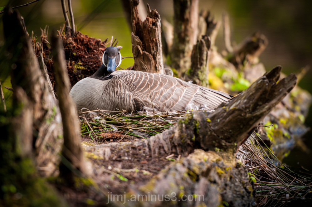 Canada goose nesting in the canyon at Reed College