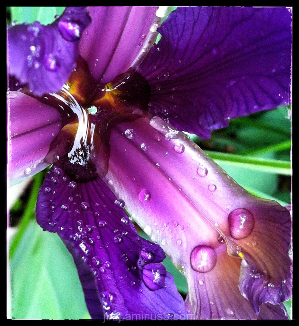 Dutch iris with dew drops