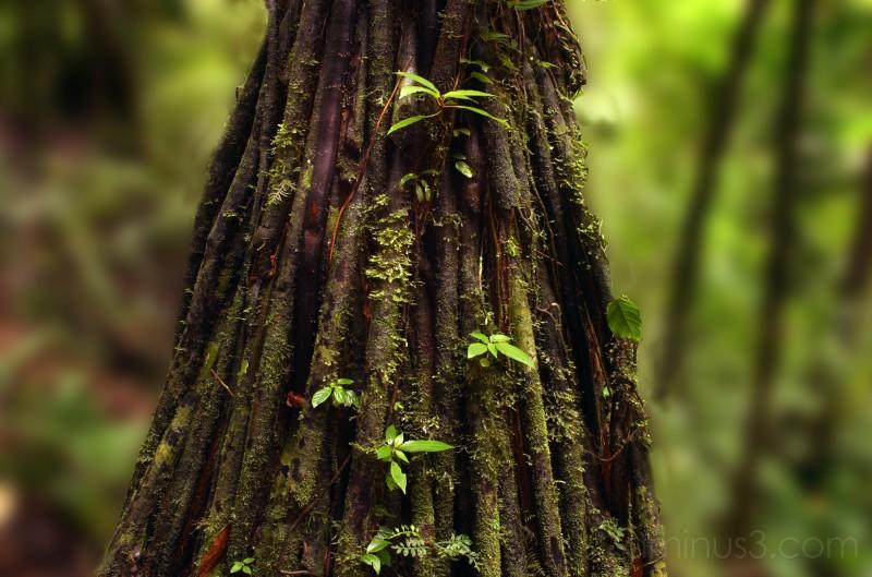 Jungle Tree - Costa Rica - 2006