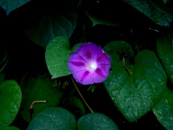 Morning Glory - 2006