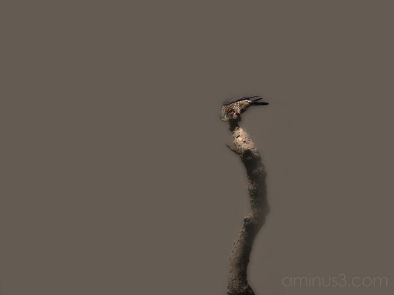 Hawk or Falcon?