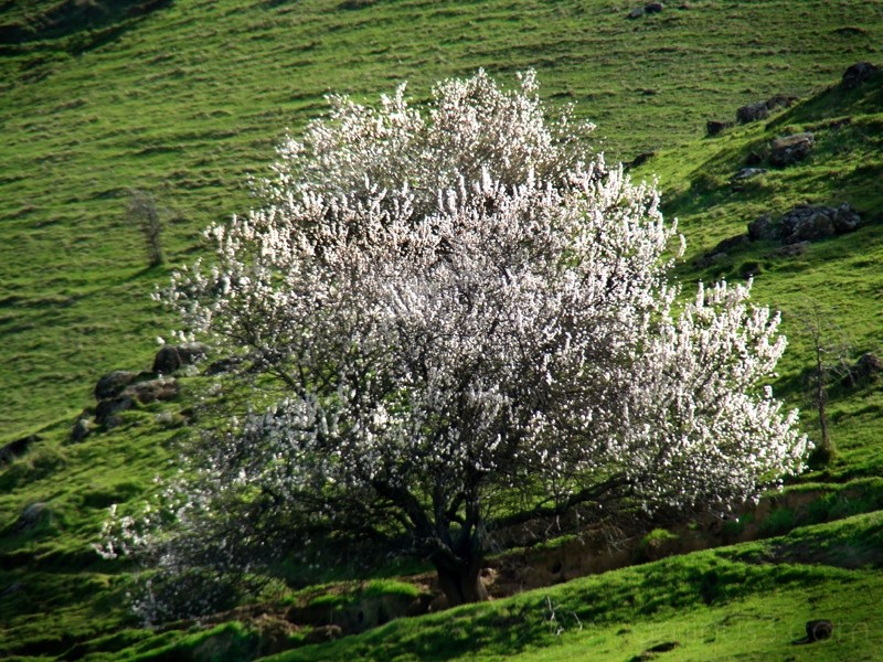 Blossoms and Pasture Land