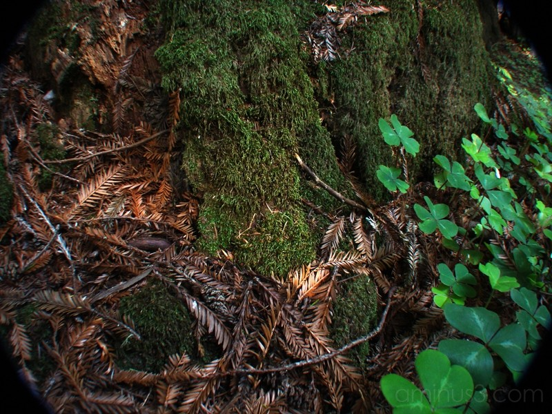 Deep into the Redwood Forest VI