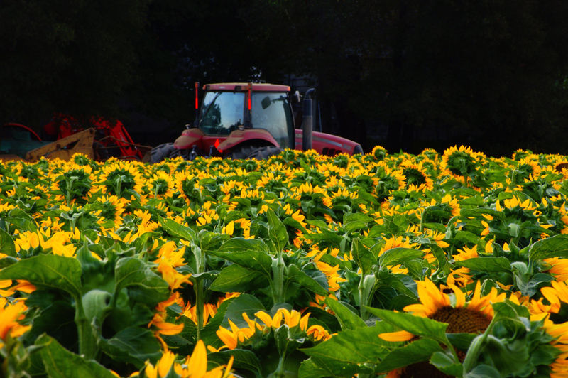 Sunflower Field and Harvester