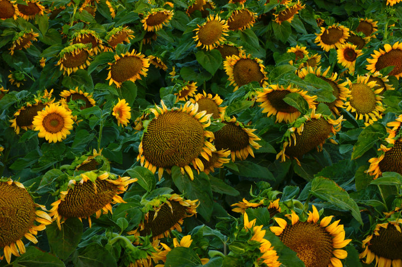 Sunflowers - Just Another Face in the Crowd