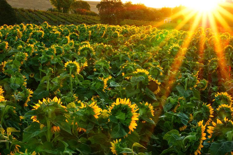 """Sun"" Flowers"