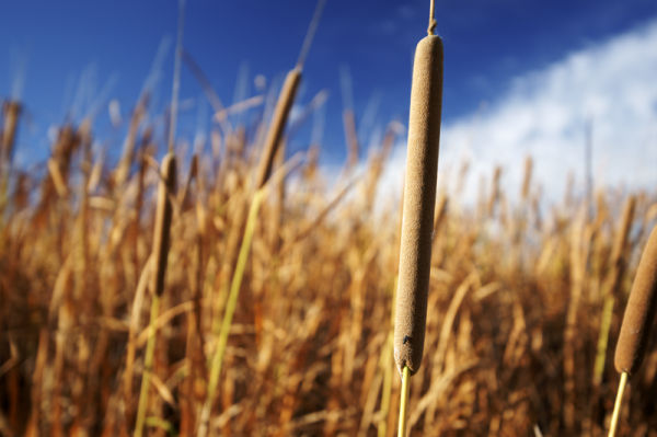 Marsh Cattails