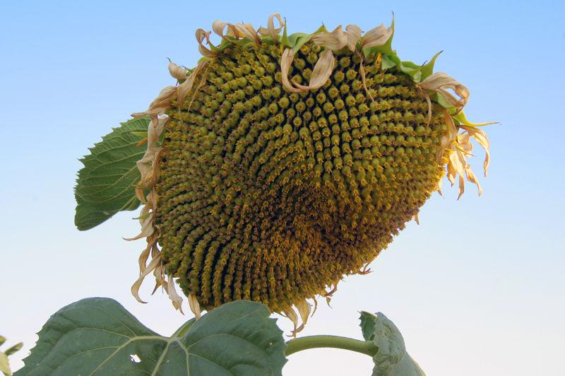 Sunflower Fields of Californin VI