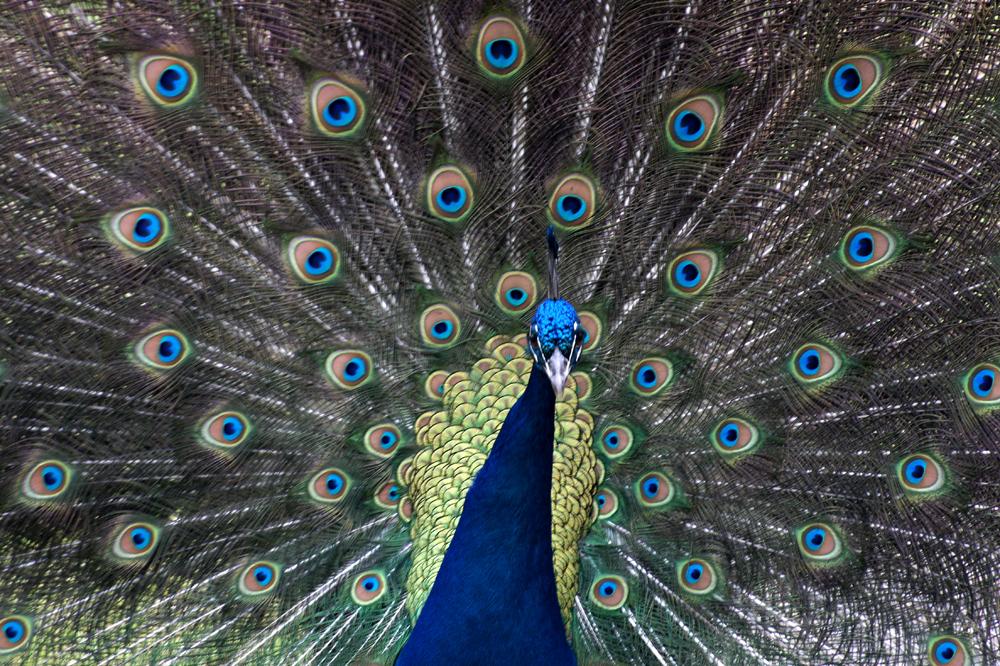 Peacocks VI