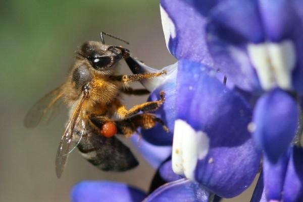 Honeybee works a bluebonnet