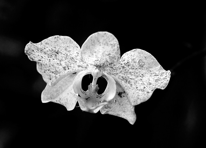 Decaying orchid