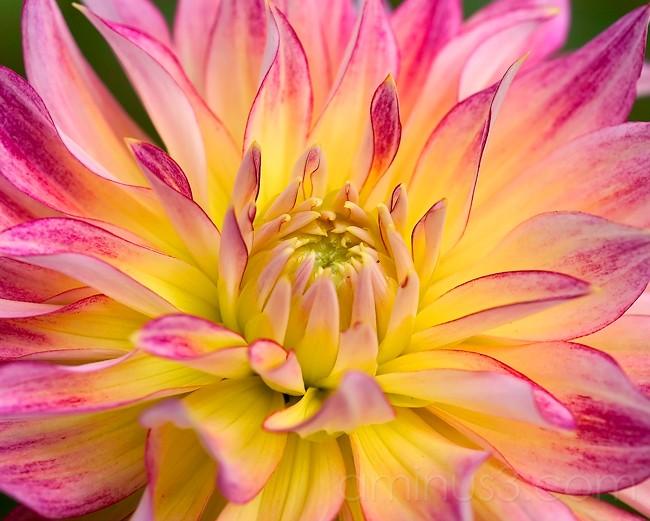 Dahlia in full bloom.