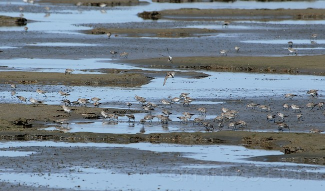 Shorebird Fest