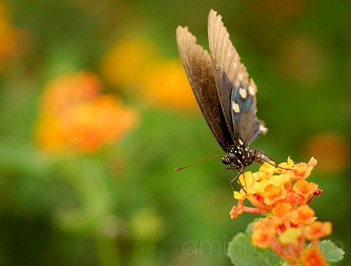 Butterfly in AZ