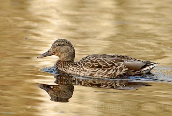 Lady Duck