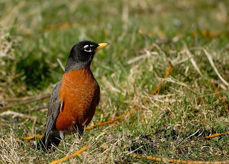 Robin on High Alert