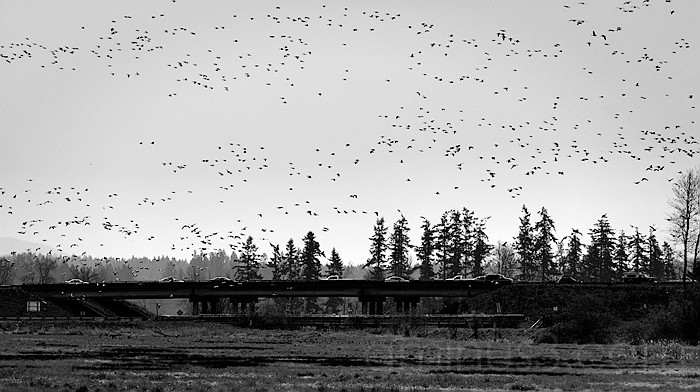 Geese Over I-5
