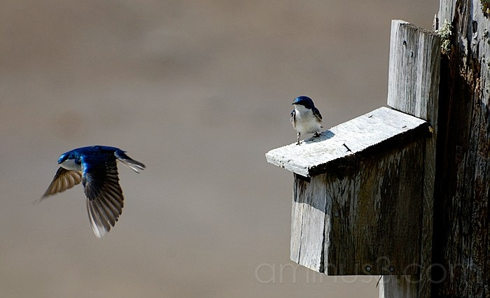 Swallows by their House