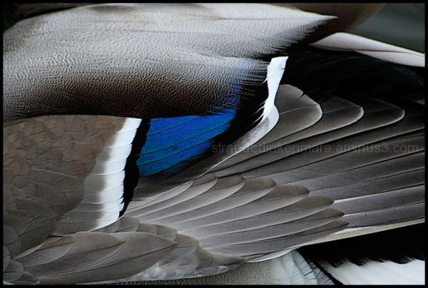 Mallard Wing Detail #2