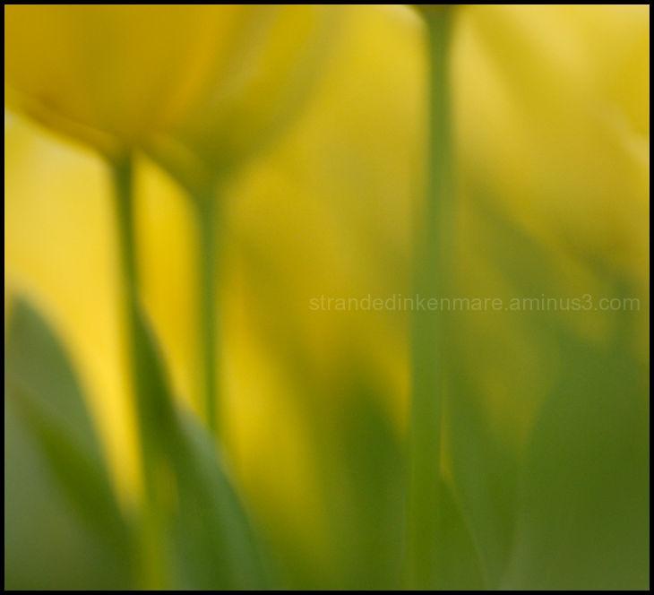 Trio of Tulips