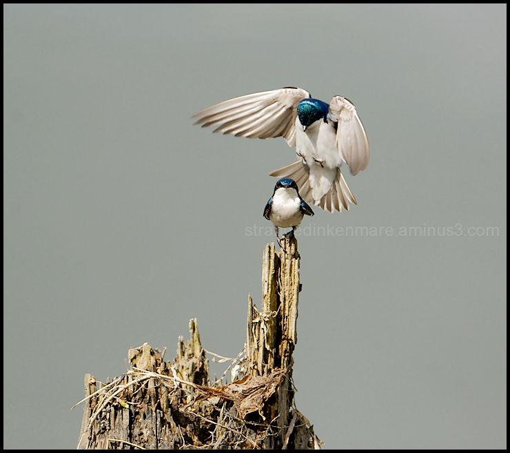 Dark Swallow