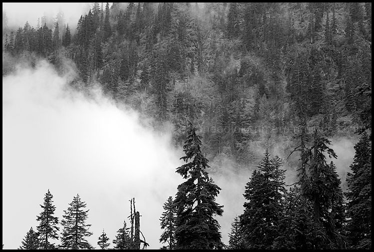 Conifer Forest II