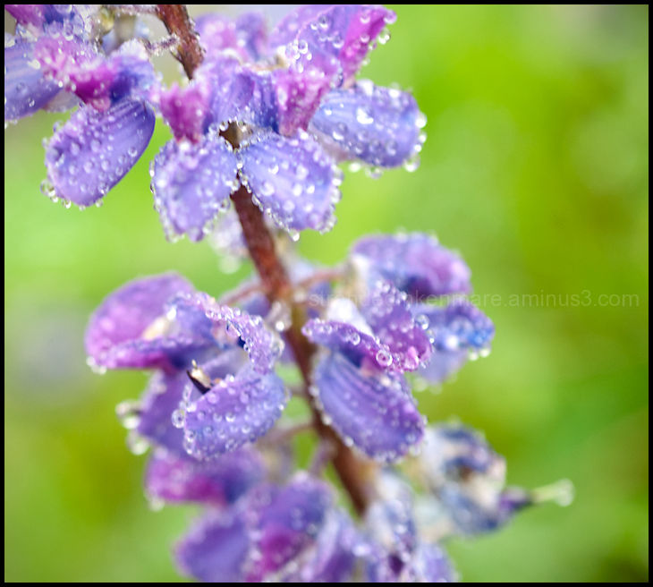 Lupine Droplets