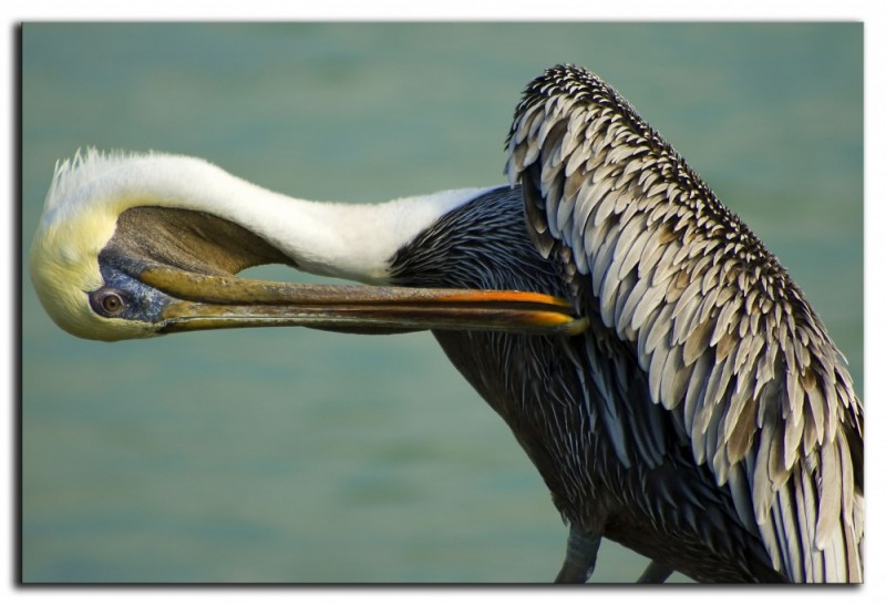 Preening Pelican