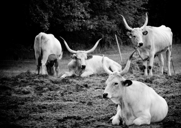 The Hungarian Grey Cattle