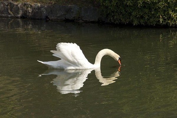 A swan and its reflection.