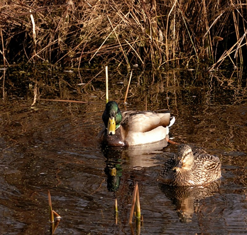 A pair of mallards.