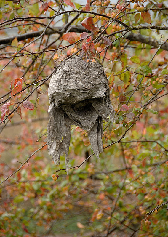 An old bees' nest which has seen better days.