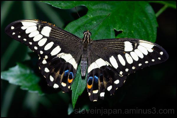A swallowtail butterfly.