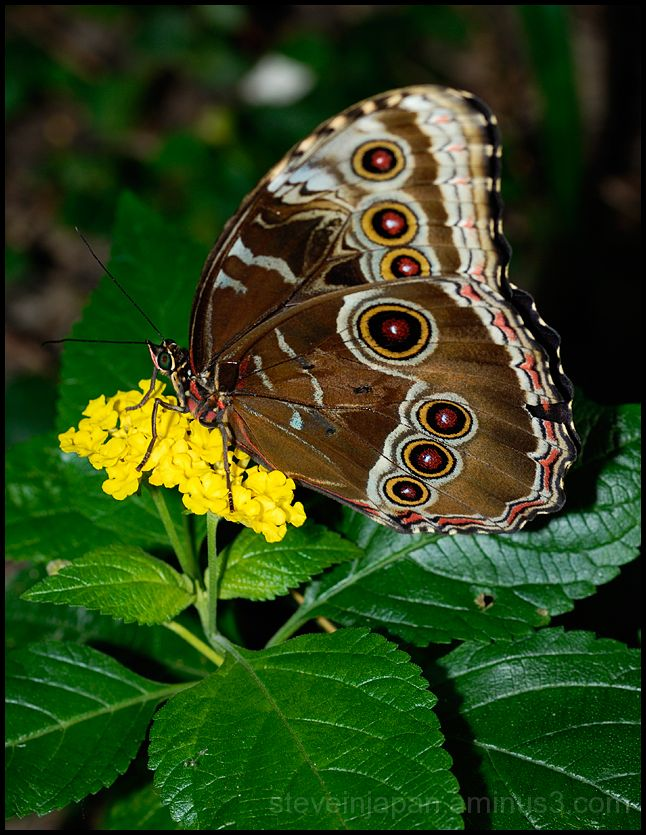 A Morpho butterfly on a flower.