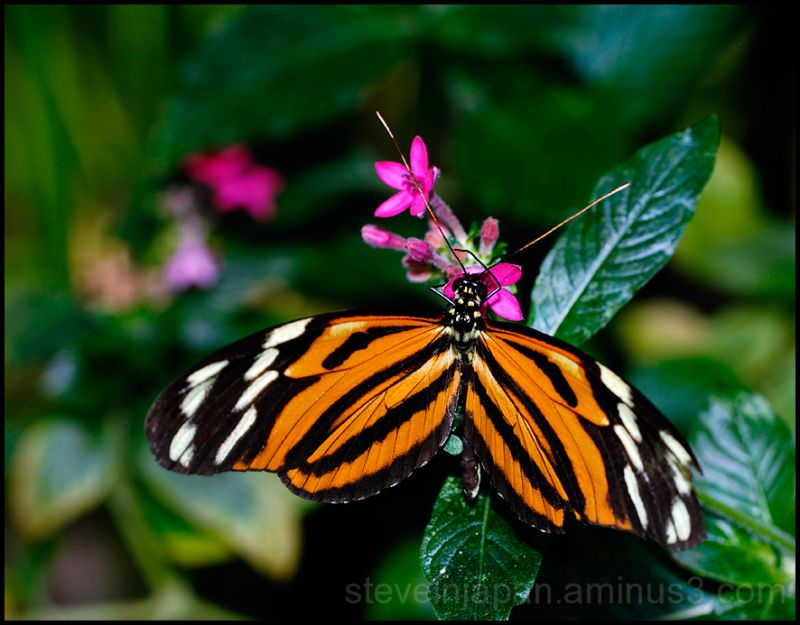 A Tiger butterfly feeding.