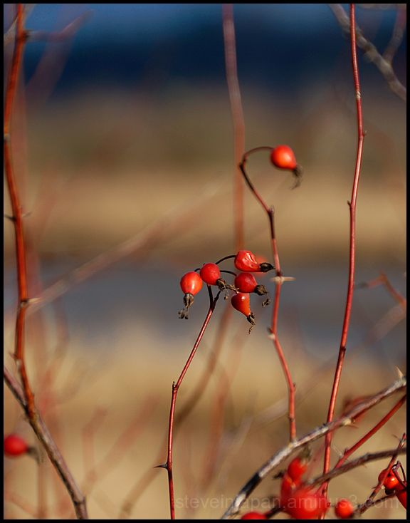 Last year's rose hips.