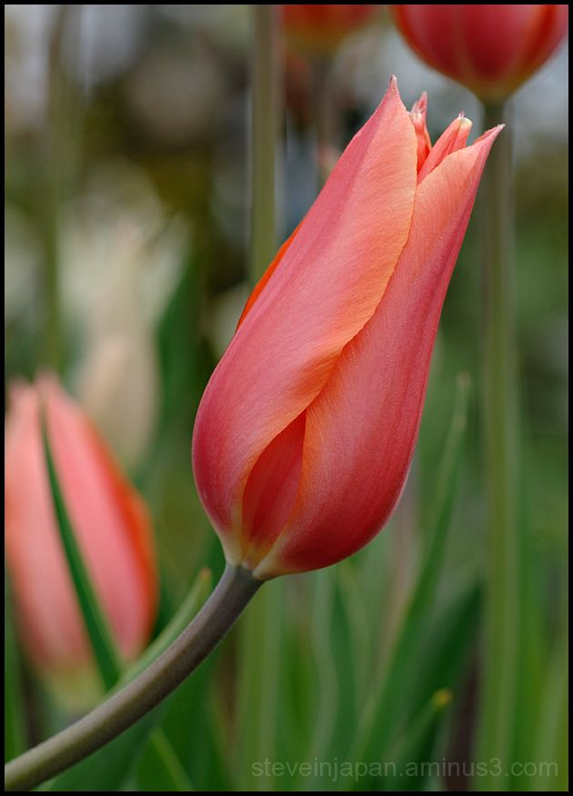 A curved red tulip.