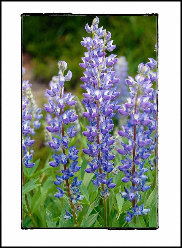 Lupine growing in Berkley Park at Mt. Rainier, NP.