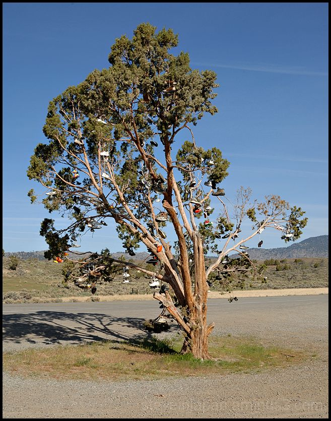 A shoe tree along the road in California.