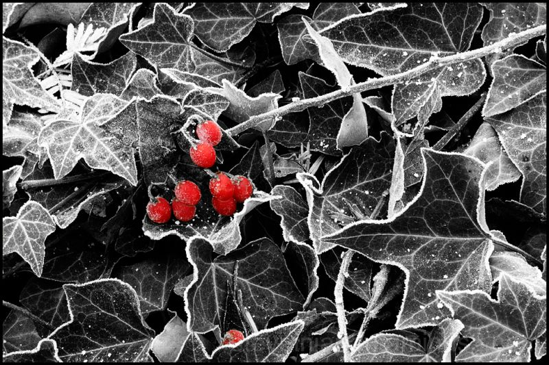 Frozen berries near Tumwater Falls.