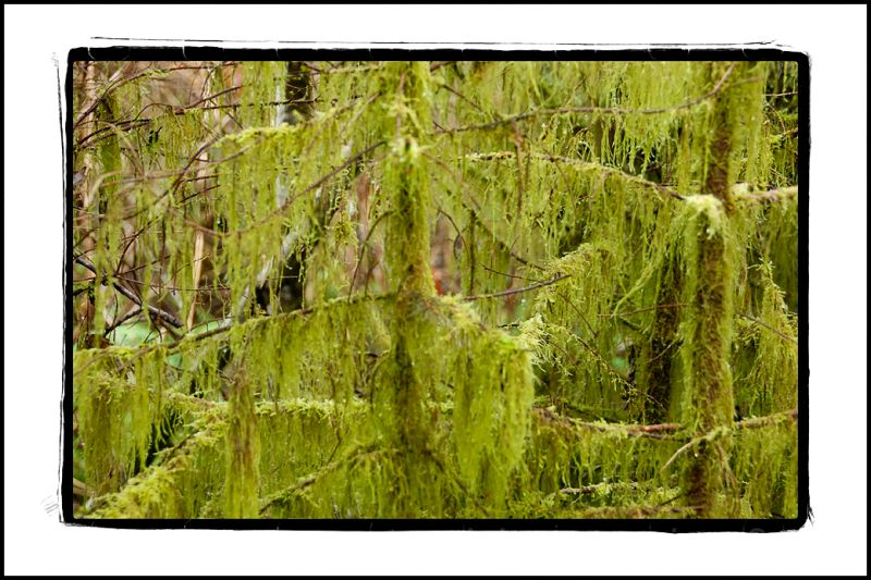 Young trees covered with moss by Preachers Slough.