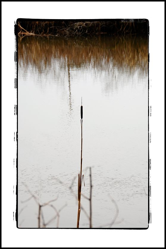 Cattail in the Chehalis River Surge Plain.