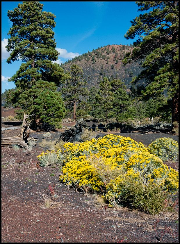 Rabbitbrush near the red cinder of Sunset Crater.