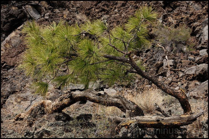 A small Ponderosa Pine grows in the lava flow.